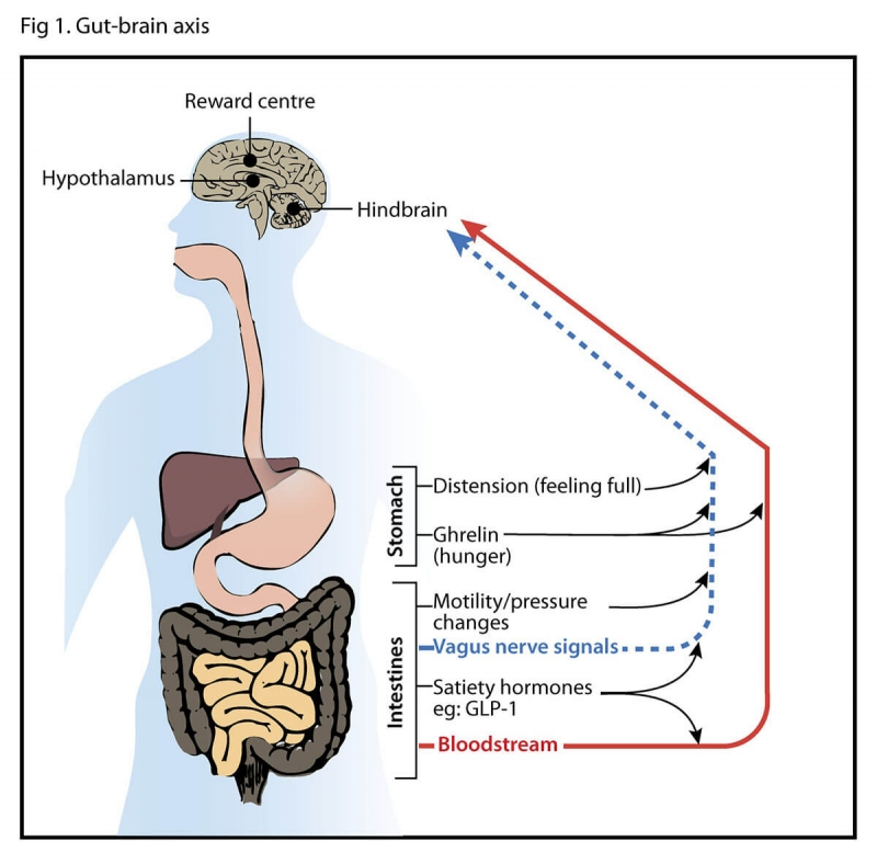 Hunger-Stomach-Brain Axis